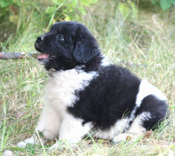 Newfoundland pup image gracie ann at 7 weeks old