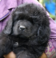 Newfoundland pup: Alfred (Ike x Navy)