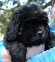 Newfoundland pup 'Caramor's Merry Widow' (Ike x Mabel)