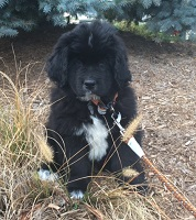 Newfoundland pup image: Augusta (formerly Sophie)