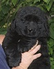 Newfoundland pup: Caramor's Blossom (Ike x Mabel)