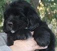 Newfoundland pup 'Caramor's Bubba' (Ike x Willow)