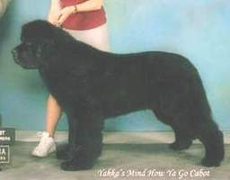 Newfoundland Stud Dog: Ch Yahka's Mind How Ya Go Cabot