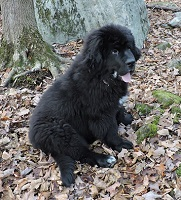Newfoundland pup: Henry VI (formerly Ramses)