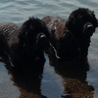 Newfoundland half-sisters: Maggie (Cabot x Cookie) & Bailey (Boss x Cookie)