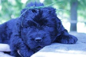 Otis (Ike x Mabel pup)