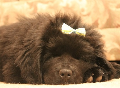 Newfoundland pup: McKinley (formerly Rouge)