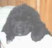 Newfoundland pup 'Lady Charlotte of Caramor' (Cabot x Navy)