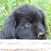 Newfoundland pup Molly (Cabot x Cookie)