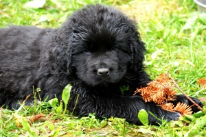 Newfoundland pup: Florence (Excalibur x Cookie)