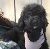 Newfoundland puppy photo:  Caramor's Norman (Excalibur x Penny pup)