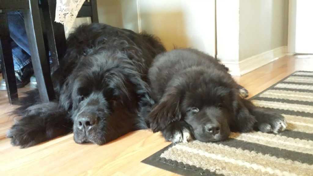Newfoundland image: Oliver (formerly Cornelius) and his friend Willow