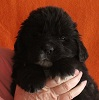 Newfoundland puppy image: Caramor's Glengarry Piper (Hector x Penny pup)