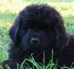 Newfoundland pup 'Caramor's P.D. Cruiser' (Guinness x Cookie)