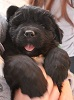 Newfoundland puppy photo: The Mighty Quinn Of Caramor (Everest x Willow)