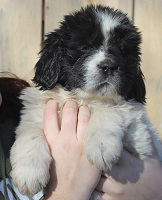 Newfoundland pup 'Caramor's Stardust Of Andromeda (Excalibur x Penny)