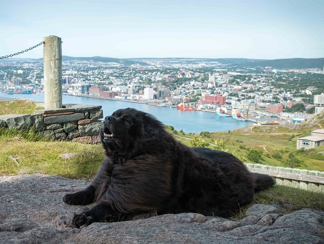 Newfoundland dog image: Tillie (Guinness x Cookie)  at Signal Hill, Nfld
