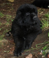 Newfoundland pup: Abby-Victoria (Ike x Navy)