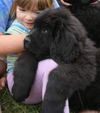 photo: Newfoundland pup: Jessie hanging out with Bronwyn