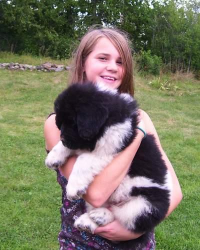 Landseer Newfoundland Puppy Photos 4 Annie