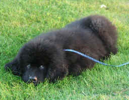 Newfoundland pup Beaumont