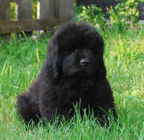 Newfoundland pup Beaumont at 7 weeks old