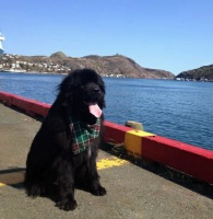 Newfoundland pup image: Buster in Newfoundland
