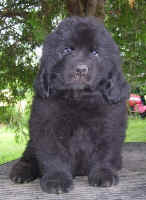 Newfoundland puppy image: 'Beaumont'
