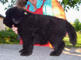 Newfoundland pup image; 'Clint'