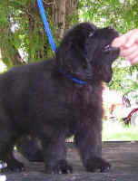 Newfoundland pup image: 'Clint'