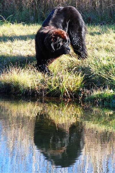Newfoundland dog image:  Cookie