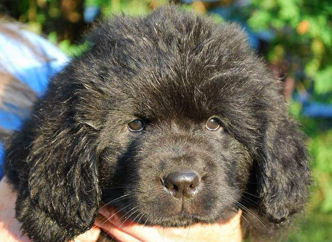 Newfoundland pup Cabot at 7 weeks old