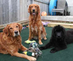 Newfoundland pup Daisy, with Golden Retrievers Neo and Trini