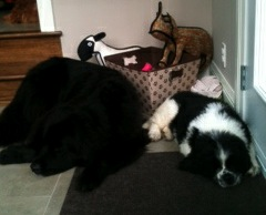Photo of a Newfoundland puppy Diesel (Landseer) with Daisy (black Newf)