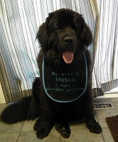 Newfoundland dog; Dutch (Ike x Mabel)