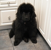 Newfoundland pup: Dutch