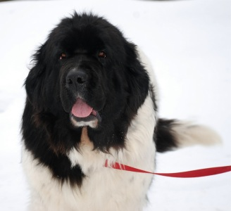 Photo of a Landseer Newfoundland: Lizzie