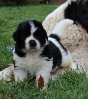 Photo of a Landseer Newfoundland puppy: Norman