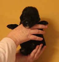 Newfoundland pup image: Russell at 10 days