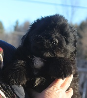 Newfoundland pup image: Russell