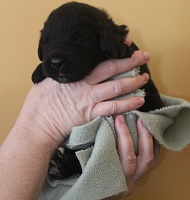 Newfoundland pup image: Trent at 2 weeks