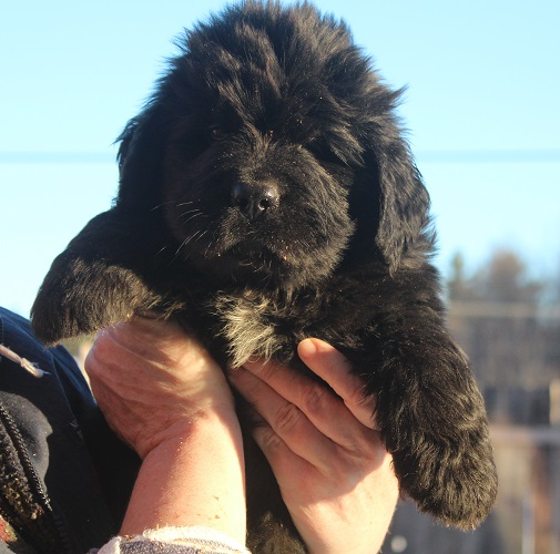 Newfoundland puppy: Trent at 6 weeks