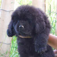Newfoundland pup Winnifred at 7 weeks of age